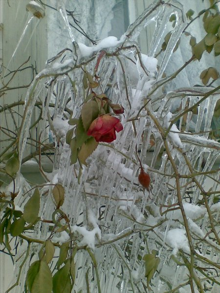 FINLAND Iiro Vuorio Frozen Rose in February 11th